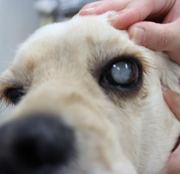 「犬 白内障」の画像検索結果